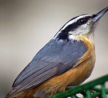 Nuthatch Close Up by Karen Checca