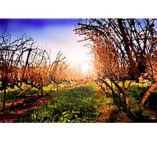 Vines at Fess Parker Winery Photographic Print
