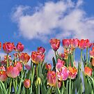 Tulips Galore by Corinne Noon
