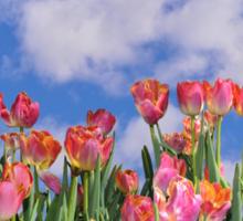 Tulips Galore Sticker