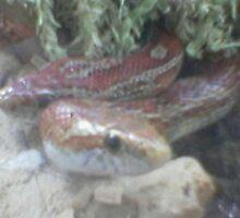corn snake by sarah-and-ash