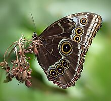 Blue morpho butterfly by hanspeters