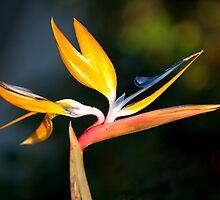 Morning Bird of Paradise by Ariston Collander