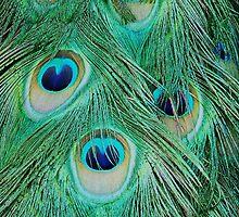Peacock tail by Martina Fagan