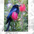 Australian Birdlife - Spangled Drongo by Holly Kempe