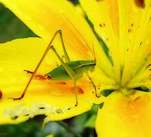 Katydid and Lily by Cathy  Beharriell
