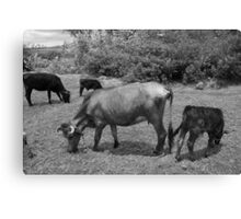 Cows in a Farmers Pasture Canvas Print