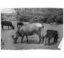 Cows in a Farmers Pasture Poster