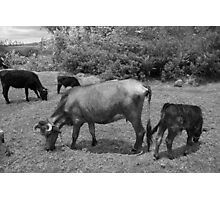Cows in a Farmers Pasture Photographic Print