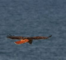 Truly...A Red Tail by Daphene