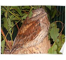 Wild Tawney Frogmouthed Owl Poster