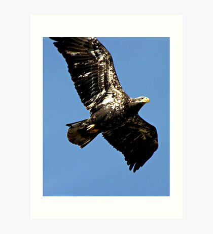Magnificent Young Bald Eagle in Flight Art Print