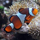 Clown Fish by Aaron Murgatroyd