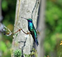 Hummingbird on Barbed Wire by rhamm