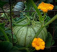 Pumpkin by Steven Maynard