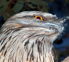 Tawny Frogmouth Owl by Clive