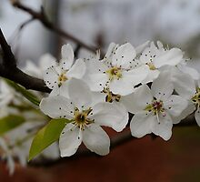 The First Spring Pear Blossoms by Scott Mitchell