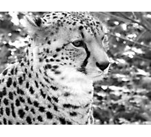 Noble Cheetah Photographic Print