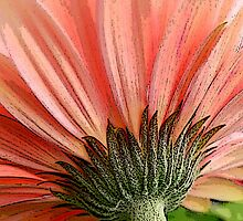 Peach Gerbera by Nancy Barrett
