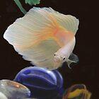 Half Moon Beta Fish by vette