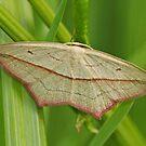 Blood-Veined Moth by Robert Abraham