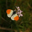 Orangetip On Cuckoo Flower by Robert Abraham