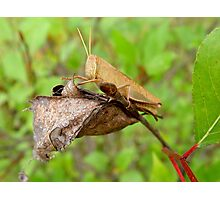 Carolina Locust Photographic Print
