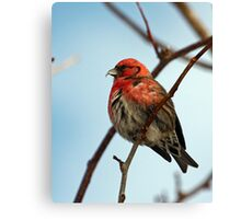 White Winged Crossbill - 1 Canvas Print