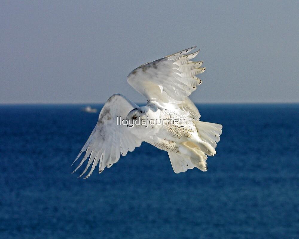 Snowy Owl in Flight by lloydsjourney