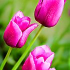 Tulips by Gordon Brebner