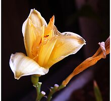 Apricot Glow by Judylee