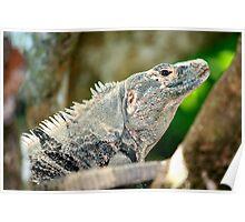 iguana.in.costa.rica Poster
