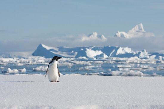 Adelie on Ice by David Burren