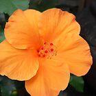 orange beauty by coastie