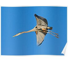 Great Blue Heron 14 Poster