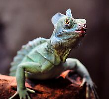 Common Basilisk Lizard by Dennis Stewart