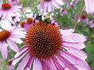 Buzzy Bee on Coneflower - 3 by Barberelli