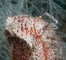 Spawning Sea Cucumber, Kapalai, Malaysia by Erik Schlogl
