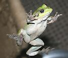 Green Tree Frog by Michelle Cocking