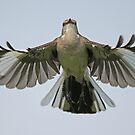 Mockingbird in flight! by jozi1