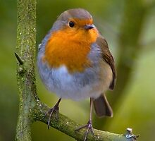 Robin perched on a branch by Swell Photography