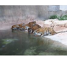 Tigers Drinking At The Waterhole Photographic Print