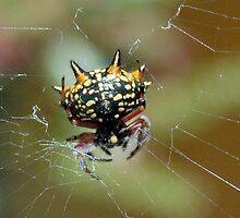 Spider by Susie Raine