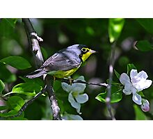 Canada Warbler Photographic Print