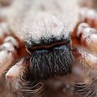 Huntsman Spider by Adam Evans