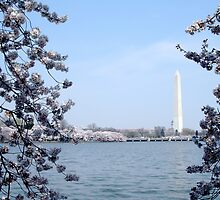 Washington Monument at Cherry Blossom time by LittleBird