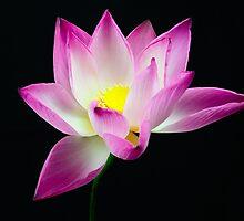 Lotus on black background by longtram