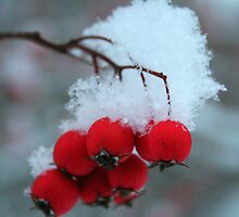 Snow Capped Berries * by Laurel Talabere