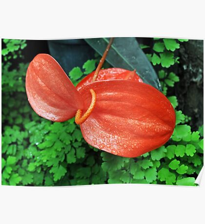 Nature In Red - Anthurium Poster