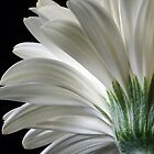 White Gerber Daisy by kkgivens